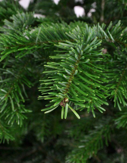 nordmann-kerstboom-detail-tak-1